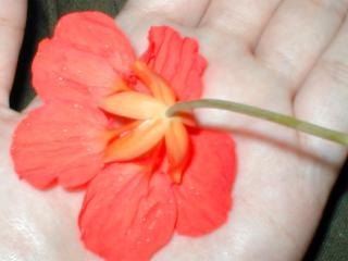 キンレンカ 日本で観賞用に売られているキンレンカの花には虚がない。 この写真はうちで育てているも