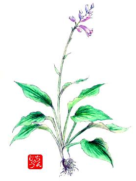オオバギボウシの画像 p1_4