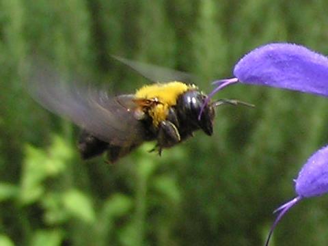 クマバチの画像 p1_13